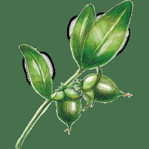 ドクターブロナーのこだわりの成分 オーガニック ホホバオイル(ホホバ種子油)